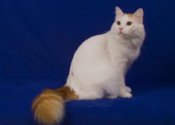White And Orange Cat Ringed Tail