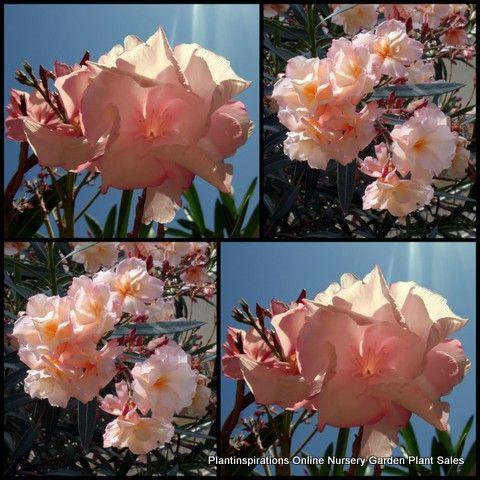 சேனையை அலங்கரிக்கும் பூக்கள் 02 - Page 4 Oleander_Mrs_Roeding_nerium_Hardy_Plants_Flowers_-002_zps1100d9f2