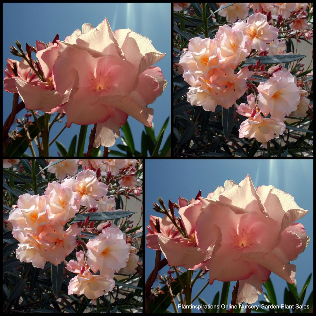 சேனையை அலங்கரிக்கும் பூக்கள் 02 - Page 4 Oleander_Mrs_Roeding_nerium_Hardy_Plants_Flowers__zps2b3e0dfb