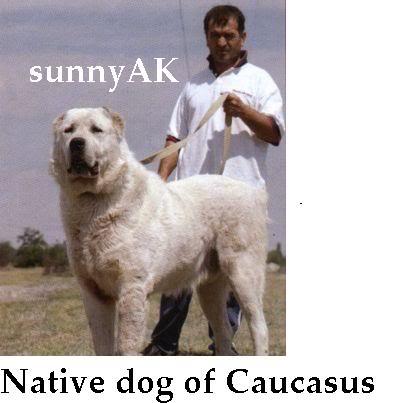 Пастушьи собаки Грузии 360aboriginal_dog_from_caucasus_mou