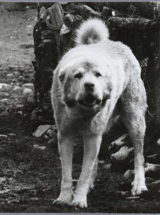 Пастушьи собаки Грузии Aborignalcaucasians