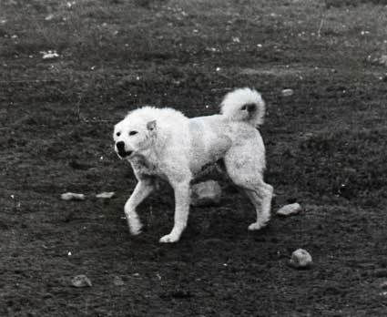 Пастушьи собаки Грузии KurzhaarigerBergkaukase2