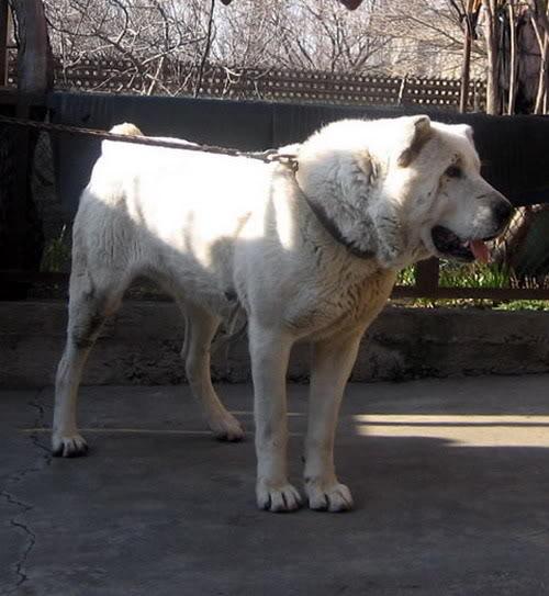The Caucasian Ovtcharka (Nagazi) Ovcharka-shvili-bagira