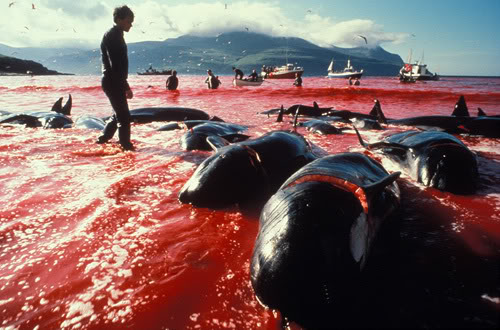 Club Groover Anti-maltrato animal Whaling