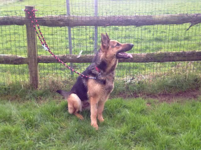 Brody Gorgeous Black and Gold Female homed 230220121262