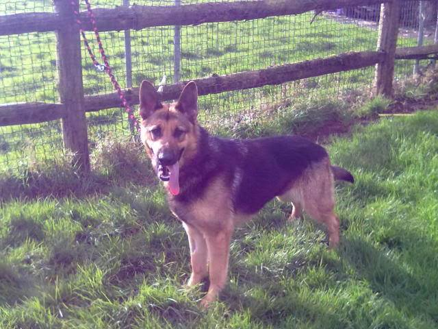 Brody Gorgeous Black and Gold Female homed 230220121263