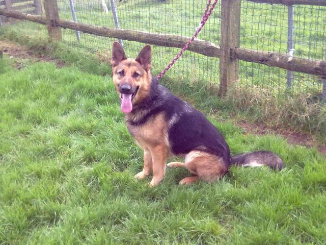 Brody Gorgeous Black and Gold Female homed 230220121265