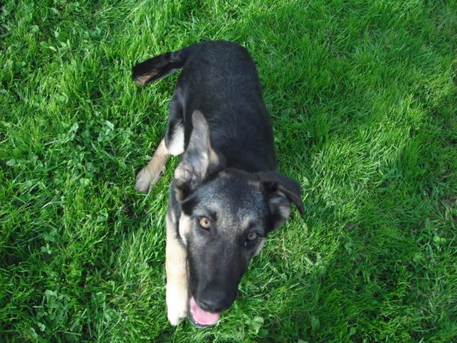 Kanga in Ireland homed at last!!!!! LouieTerrier021