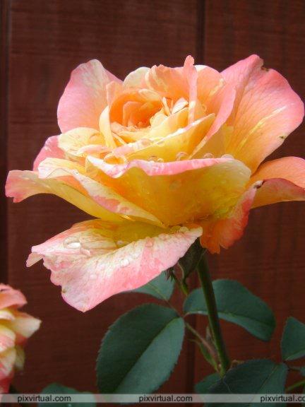 BUSQUEMOS HERMOSAS FLORES - Página 9 Flores_IVD5c