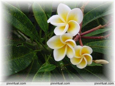 BUSQUEMOS HERMOSAS FLORES - Página 9 Flores_mUjen