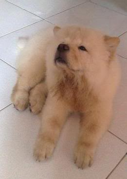 Chow Chow For Sale (Now accepting reservation) 1-344232130l-1