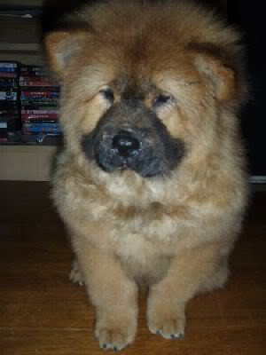 Chow Chow For Sale (Now accepting reservation) 3697_1205415446
