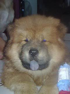 Chow Chow For Sale (Now accepting reservation) Maya-1