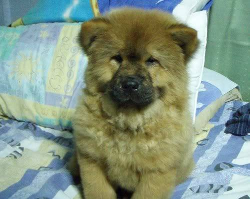 Chow Chow For Sale (Now accepting reservation) P3060931
