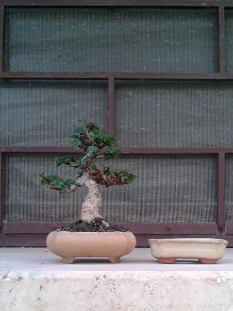 Bonsai mame da talea di olmo cinese - Pagina 2 Fotomontaggio1_zpsriqohmoy