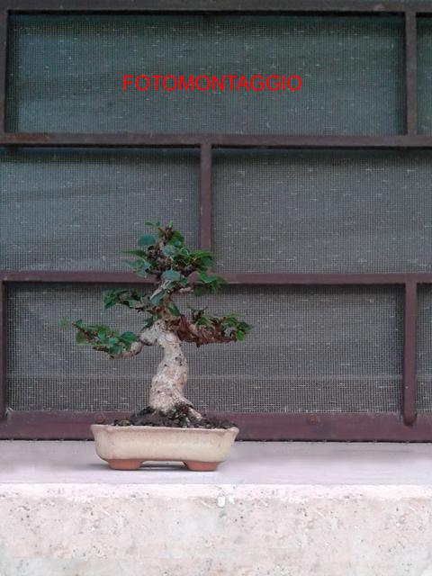 Bonsai mame da talea di olmo cinese - Pagina 2 Fotomontaggio2_zpsmy0tjq1e