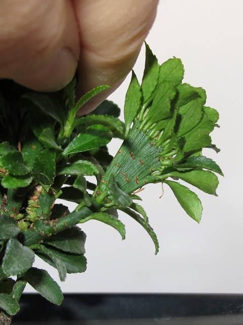"Forma ""fasciata"" in Euonymus japonicus microphyllus Euon-crist2"