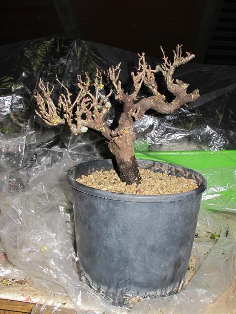 Piccolo Prunus mahaleb Mahaleb01_zps2ad8ea63