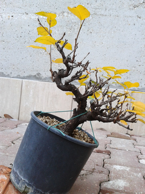 Piccolo Prunus mahaleb Mahaleb02_zpsc53a08b2