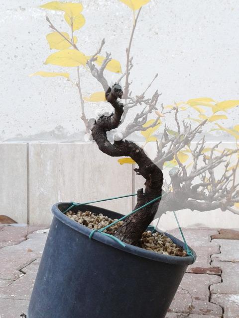 Piccolo Prunus mahaleb Mahaleb03_zps6d7b5fb8