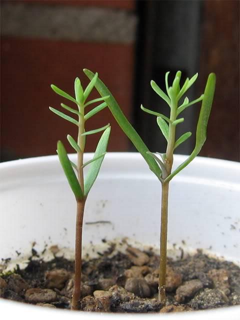 info semina sequoia gigante Sequ5