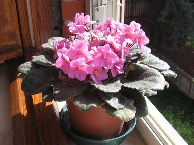 Pianta perennemente in fiore: violetta africana Vio2