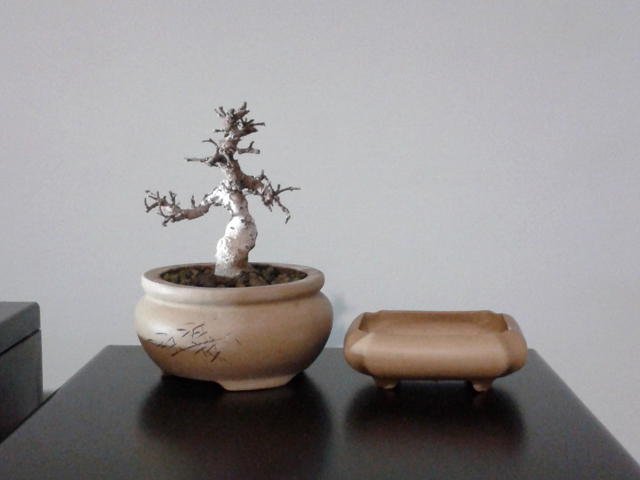 Bonsai mame da talea di olmo cinese Znt59_zps13c83591