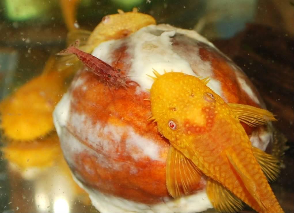 Shrimp 383aa66f