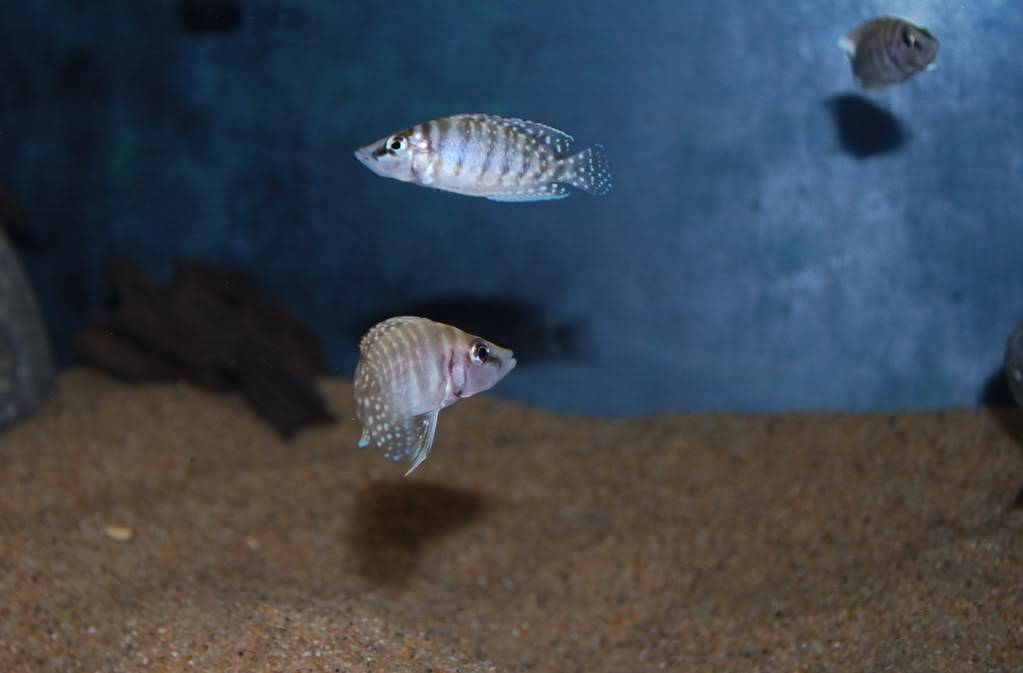 "Altolamprologus calvus ""white Chaitika"" 6be3946d"