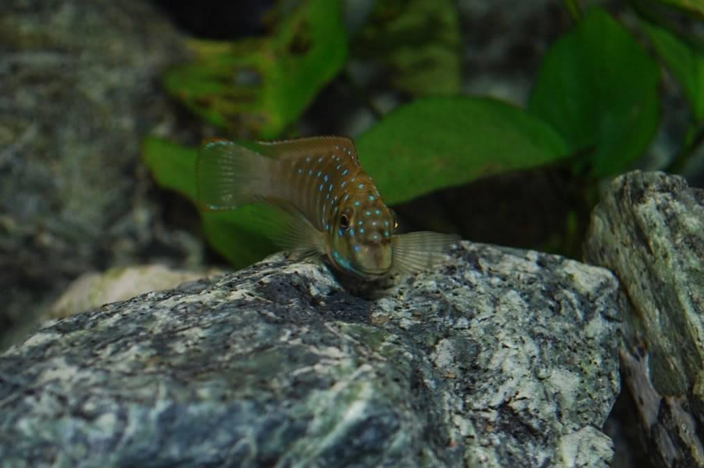 Eretmodus cyanostictus Zambian Blue Spot - Page 2 A38dae53