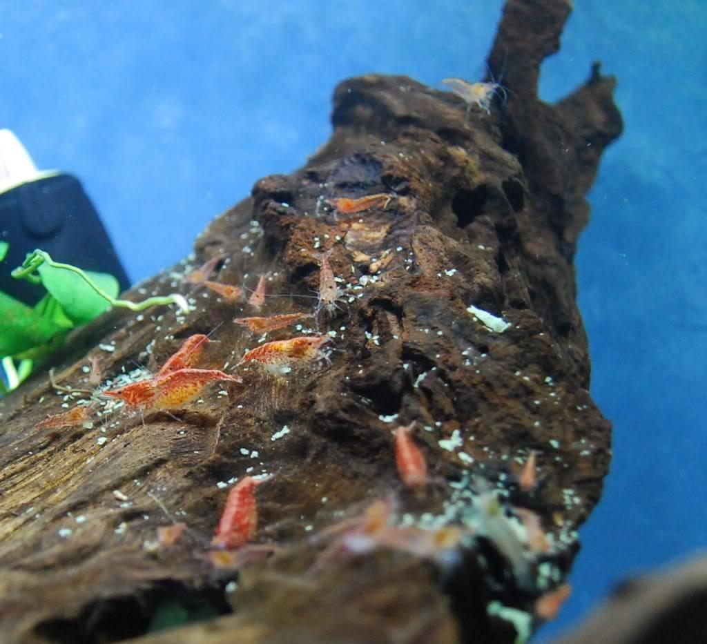 Shrimp A7b32e0c
