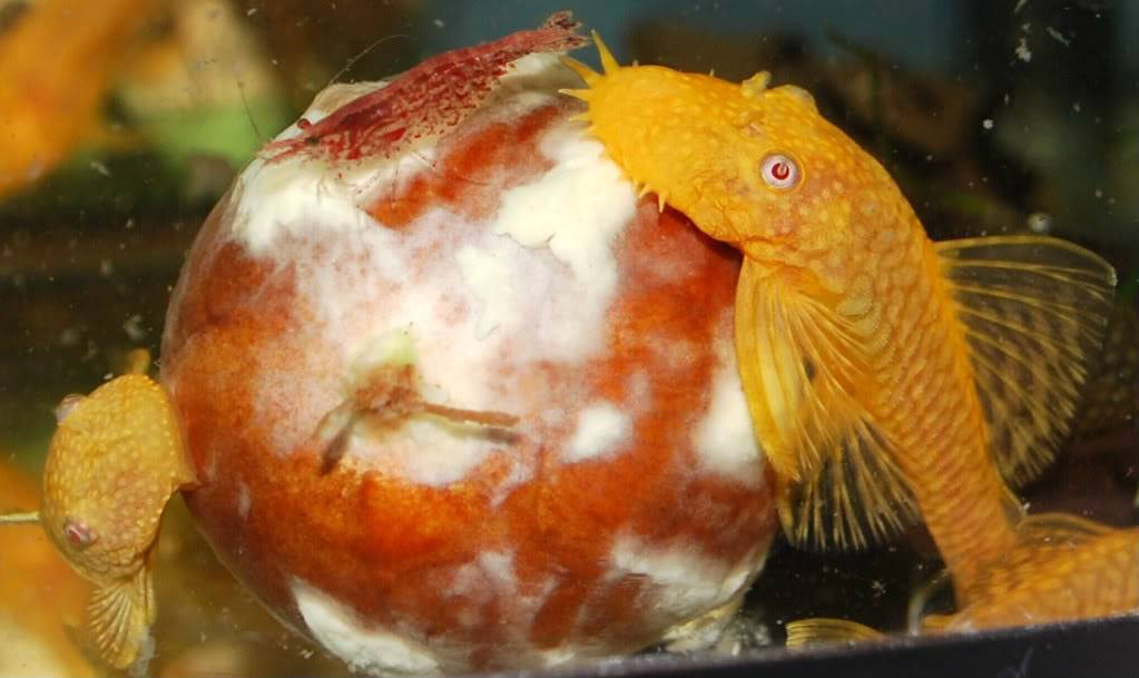 Shrimp F576459e