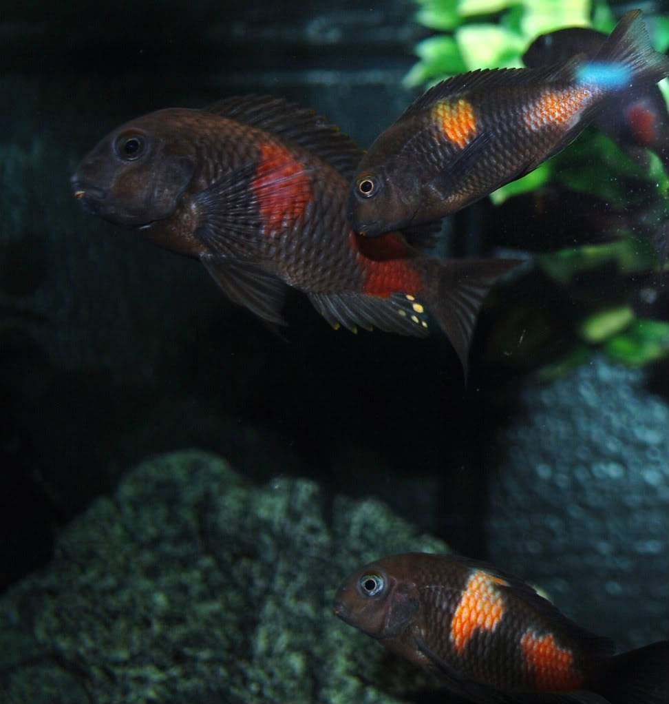 Lots of cherry spots (Tropheus) 530e4b2a