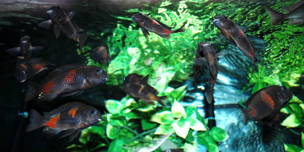 Lots of cherry spots (Tropheus) B0a04f65