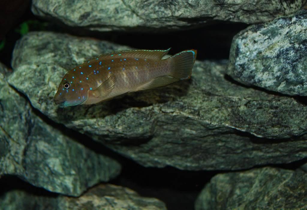 Eretmodus cyanostictus Zambian Blue Spot - Page 2 009_zps595c00c3