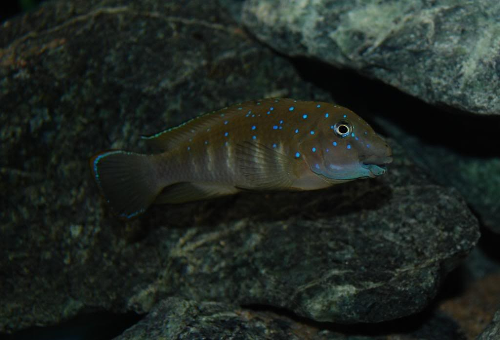 Eretmodus cyanostictus Zambian Blue Spot - Page 2 061_zps259bc22d