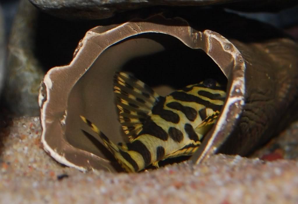 "My L-134 "" leopard frogs"" 7809004d"