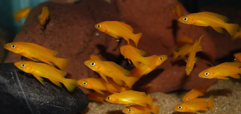Some of my Neolamprologus leleupi 58be9718