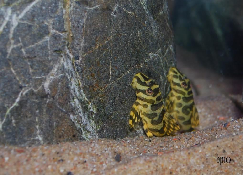 Leopard frog plecostomus Ab1d60f6