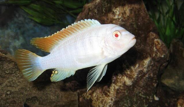 My old albino greshakei picture Malbinogreshakei1