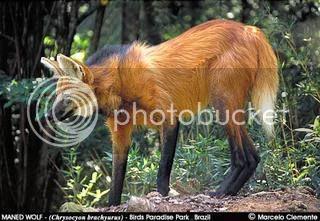 The Maned Wolf Chrysocyonbrachyurus