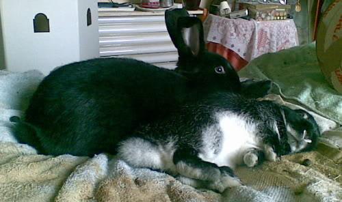Forum Members Rabbits Photobucket-BellaandTarquin