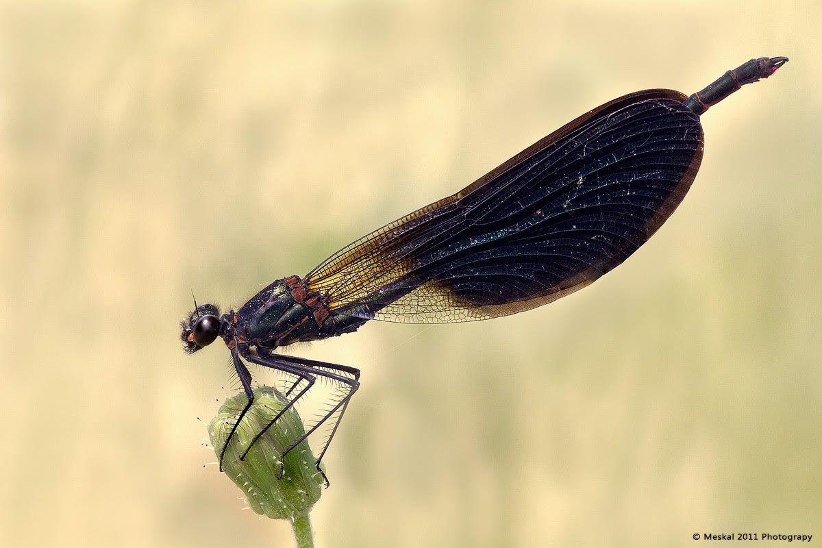 Libellula In black _MG_0314Libellula-Black_1200