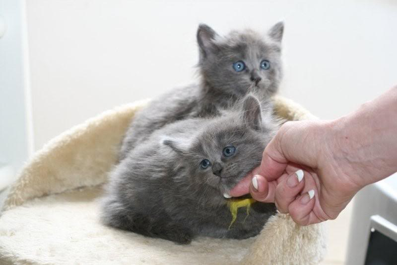 Ladoga´s kittens! IMG_3111