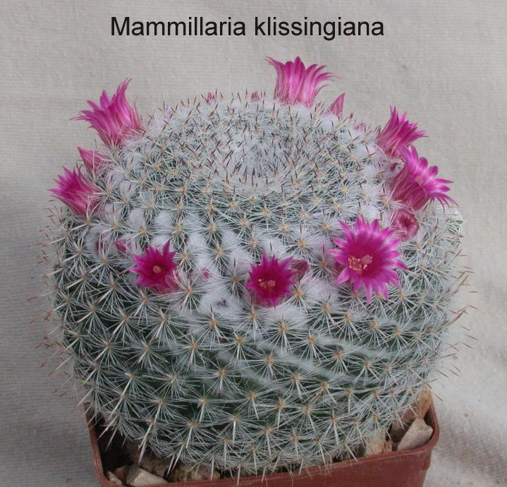 Mammillaria hahniana?? 6819
