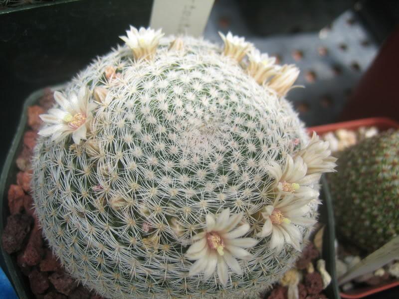 Lumping v Splitting; fine white spined Mammillarias IMG_4218