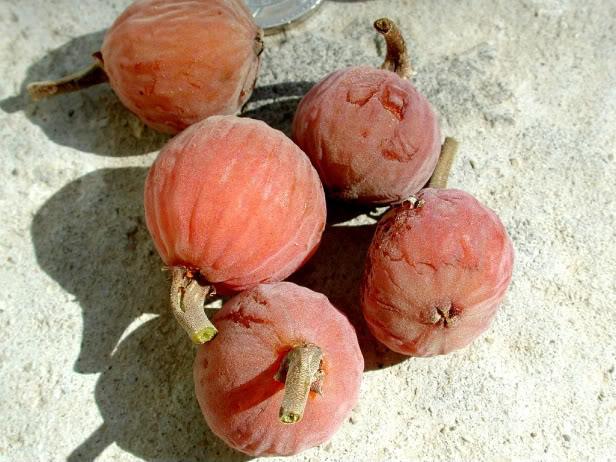 شجرة الجميز -ثمر الجميز-فوائد الجميز/سعيد الاعور 26.06.13 Sycamor_figs-1