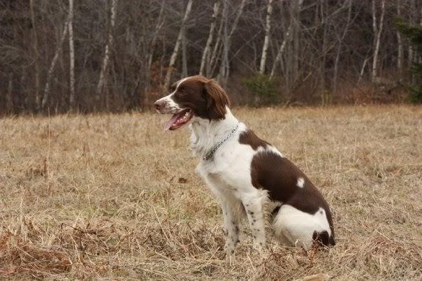 Chiots Springer Anglais (épagneul, chien de chasse) Vito2
