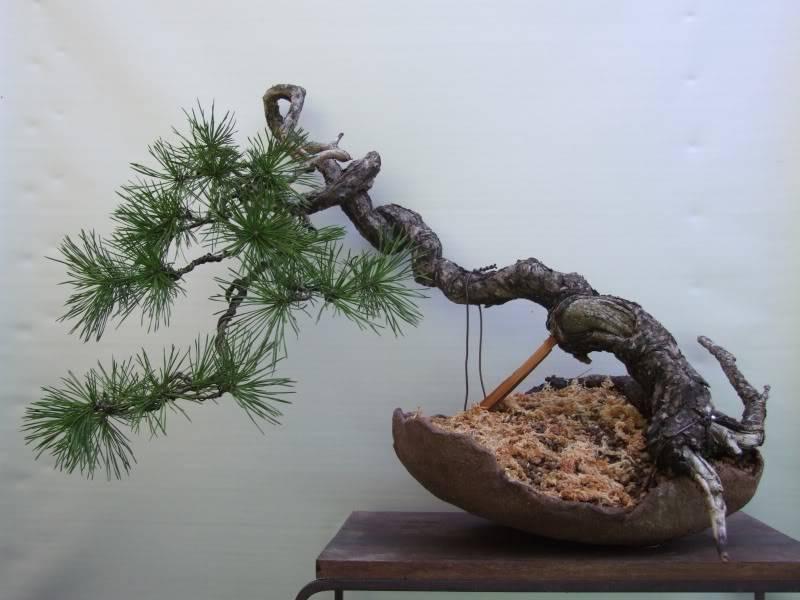 Scots pine Pinussylvestris16-02-2011008