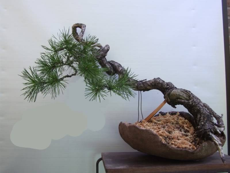 Scots pine Pinussylvestris16-02-2011009zonderlagetak